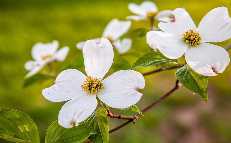 White dogwood flowers on a blown out green grassy background