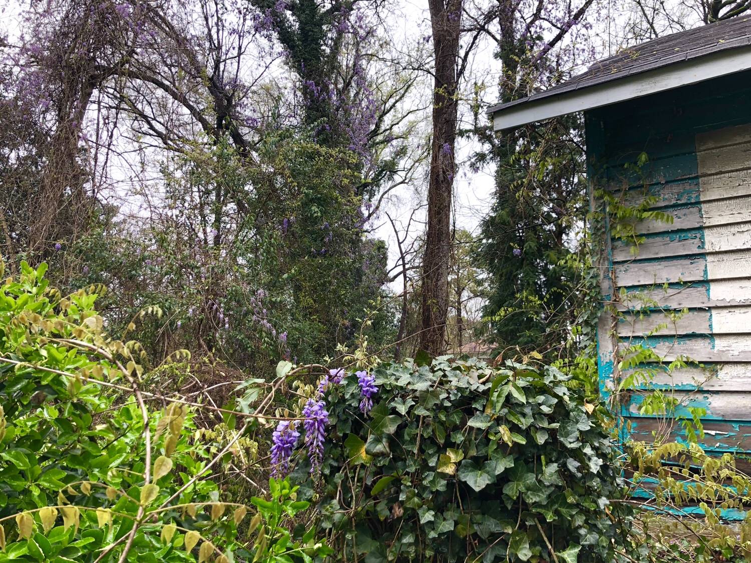 A landscape photograph. The background is made of a gray sky peaking through the branches of leafless trees which are covered in cascades of blooming wisteria, appearing as a purple haze around the branches. The foreground is vibrant green, mostly wisteria and ivy, a few blooms of wisteria clearly visible. To the right in the foreground is the corner of an abandoned house, paint peeled away and mostly gray, darker than the sky, with remnants of vibrant teal pain along the bottom edges. Photograph by author.